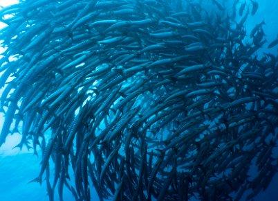 跳水在西巴丹岛